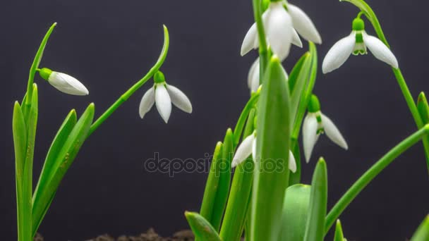 spring flowers of snowdrops