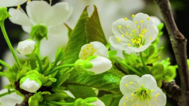 strom květy třešně