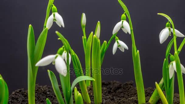 květiny jarní sněženky