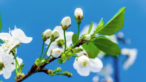 beautiful plum flowers growing