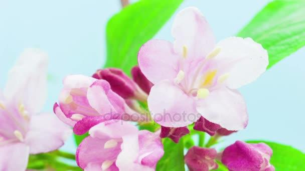 Weigelie květiny rostou a kvetou