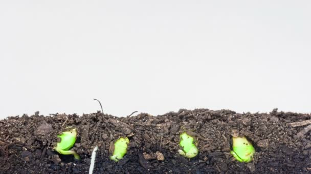 grain seeds growing from soil