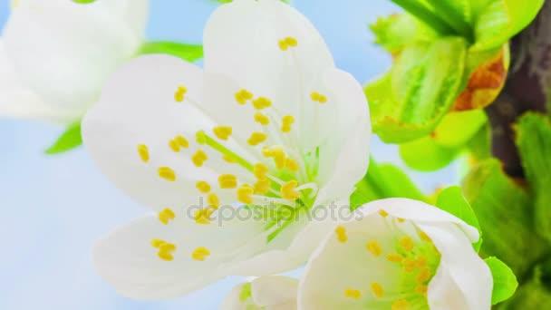 Krásný třešně květiny pěstování