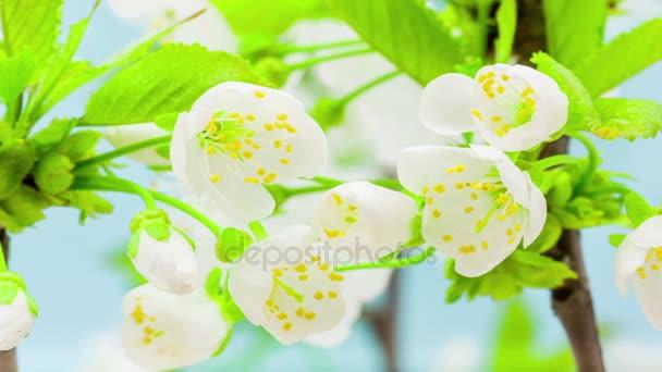 Gyönyörű cseresznyelegyet virágok nőnek