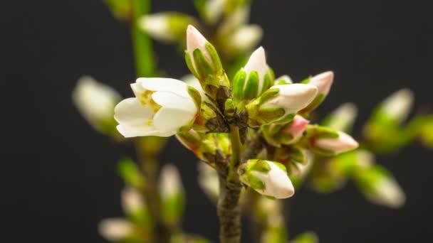 Švestkové květy rostou a otevírání
