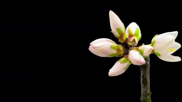 Mandlový květ, časový skluz. 4k makro timelapse video švestkový květ rostoucí a kvetoucí na černém pozadí