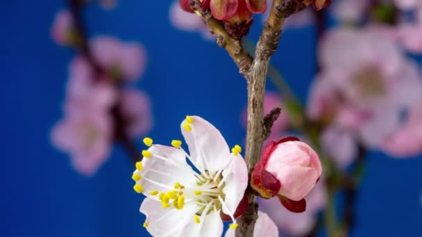 4k macro timelapse of a wild plum flowers  growing, blossoming on a blue background. Wild plum flowers blossom in time lapse