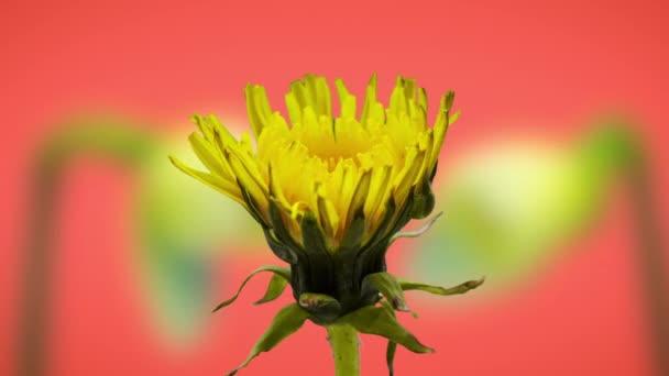 Včasné video žluté pampelišky květ mletí s barevnou ornametální cyklamen květ rostoucí v pozadí / Pampeliška kvetoucí časově