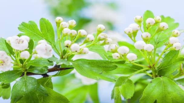 Makro timelapse bílého jasmínu květy rostoucí, kvetoucí a kvetoucí na modrém pozadí