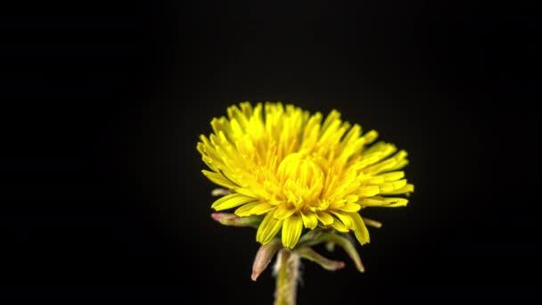 Včasné video žluté pampelišky, která roste na černém pozadí. Pampeliška kvetoucí čas vypršel