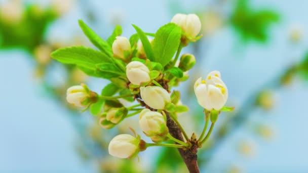 Szilvavirág Virág, Idő Lappang. 4k makró timelapse videó egy szilvavirág növekvő virágzik, és virágzik a kék háttér
