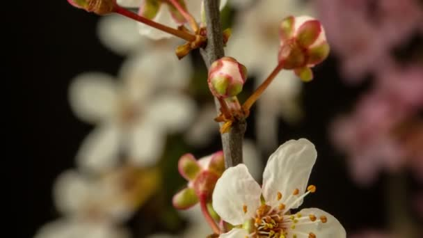 4k macro timelapse of  apple flowers  growing, blossoming on a black background. Wild apple  flowers blossom in time lapse