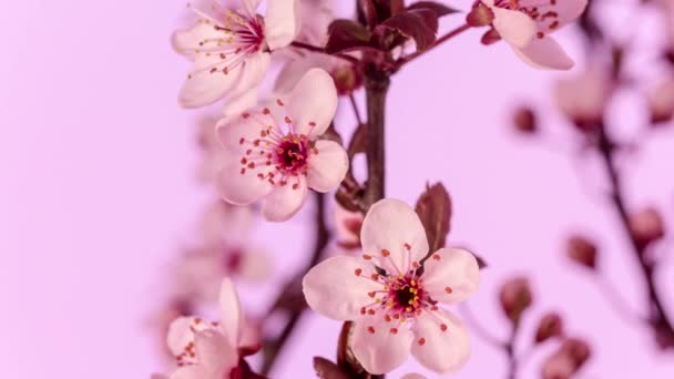 4k makro timelapse őszibarack virágok növekvő, virágzó rózsaszín háttérrel. Vadbarackvirág virágzik az idő múlásával.