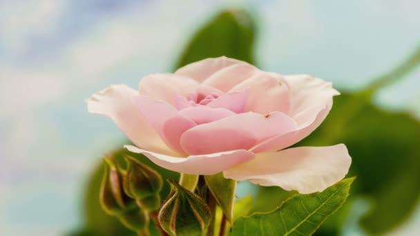 růžové květy růží kvetou právě včas. Makro čas lapse video růže květ roste, kvete a kvete na modrém pozadí
