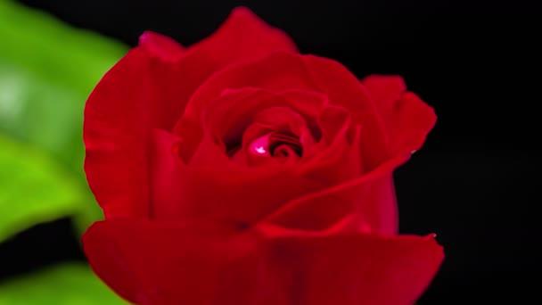 Červená růže kvete právě včas. Makro čas lapse video růže květ roste, kvete a kvete na černém pozadí