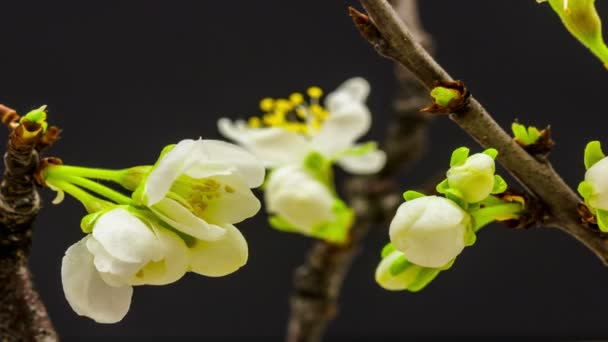 Plum Flower Blossom, Time Lapse. 4k macro timelapse video of a plum flower growing blooming and blossoming against a black background