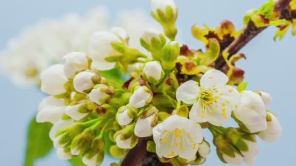 Švestkový květ, časový skluz. 4k makro timelapse video švestkový květ kvetoucí a kvetoucí na modrém pozadí