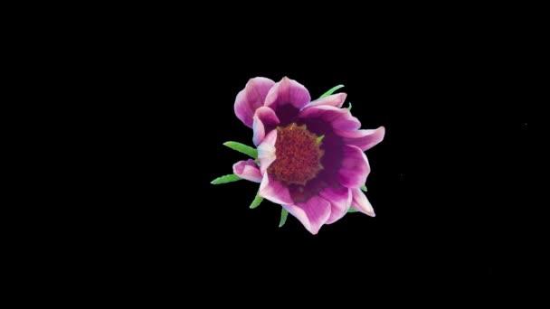 1080p časová prodleva makro záběr s alfa kanálem, izolované z pozadí květu Gazania roste a kvete. Gazania květ kvetoucí izolované