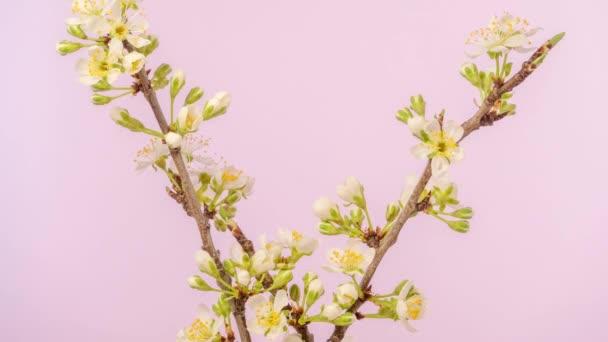 Švestkový květ, časový skluz. 4k makro timelapse video švestkový květ rostoucí a kvetoucí na růžovém pozadí