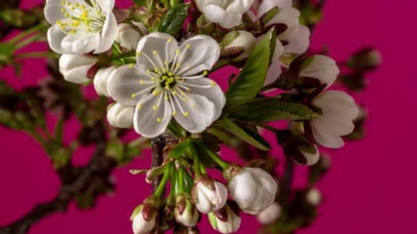 HD makro čas lapse video quince květiny a listy rostoucí a kvetoucí na modrém pozadí