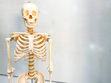 Artificial human skeleton in a school classroom. A whiteboard is in the background.