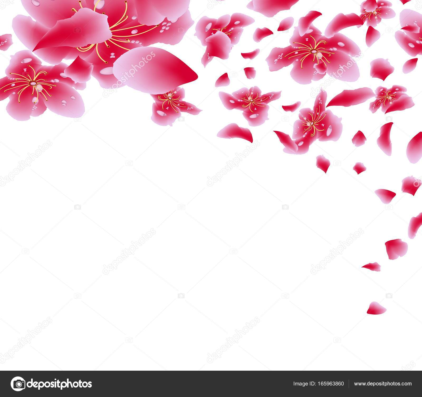 sakura flowers background cherry blossom isolated white background chinese new year stock vector