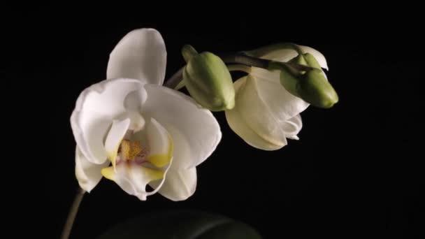 Bílá orchidej rotující na černém pozadí