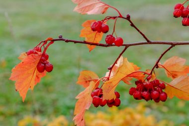 Rowan berries ripening on autumnal tree