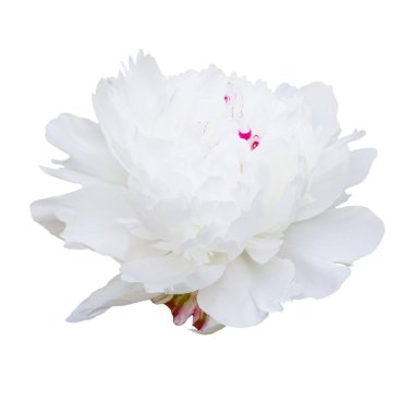 White peony flower isolated on white background stock vector