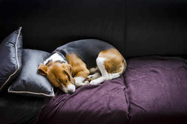 Beagle dog sleeping on couch after a long day