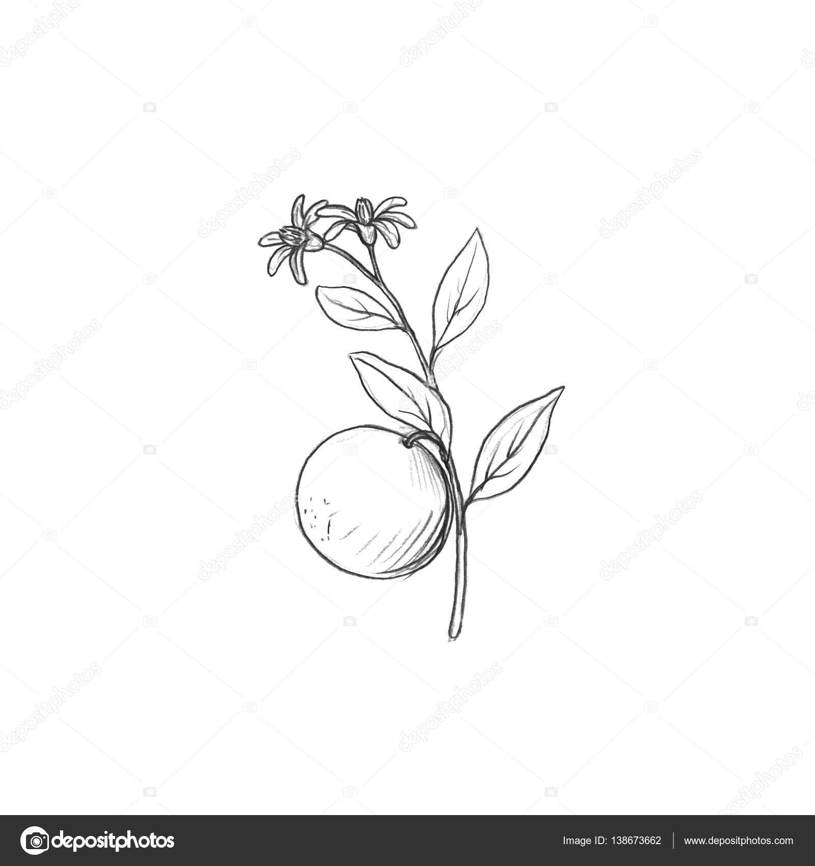 Dibujos Flores Y Frutas Rama De árbol De Fruta Con Flores