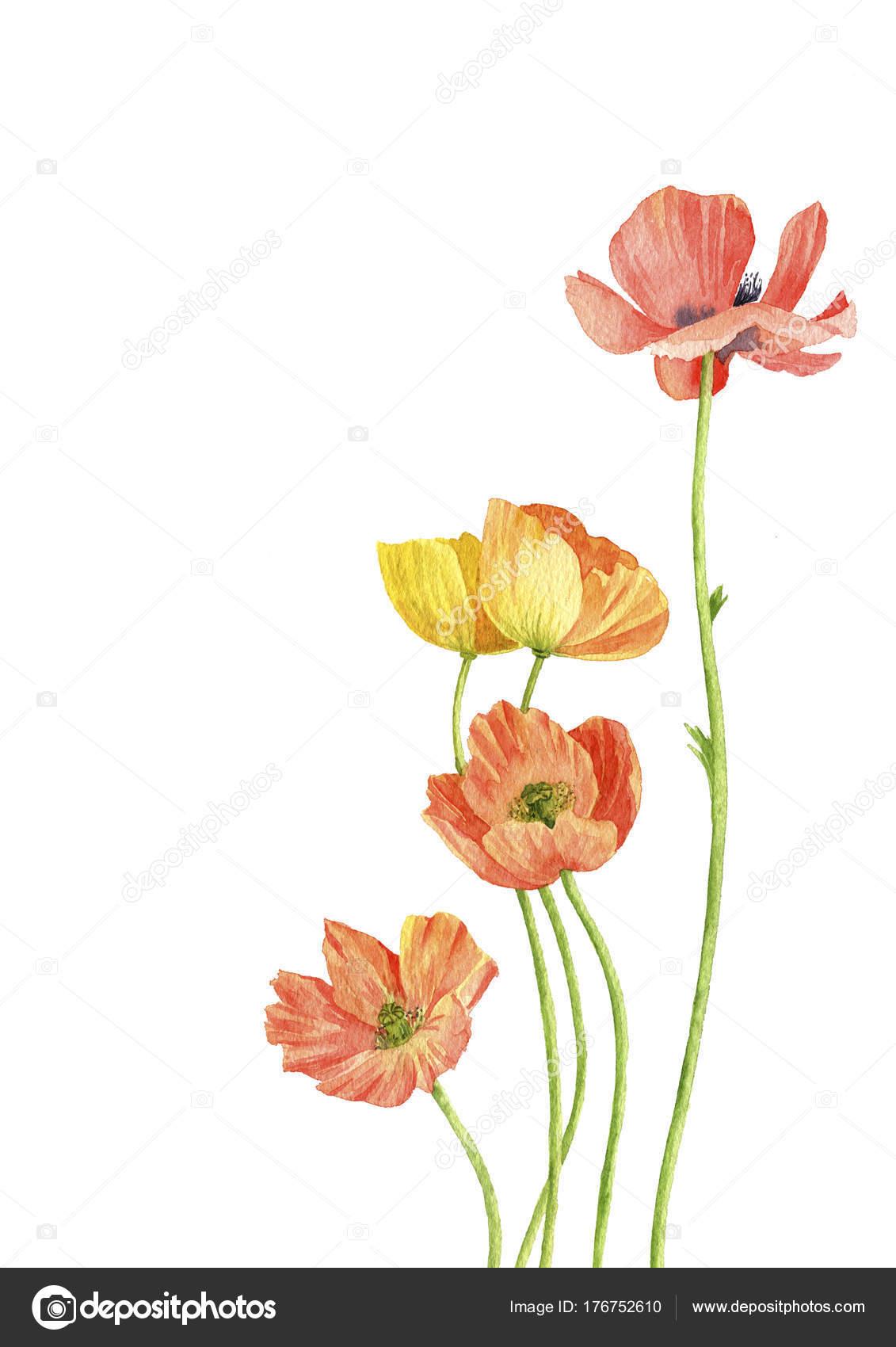 Aquarell Mohn Blumen Zeichnen Stockfoto C Cat Arch Angel 176752610