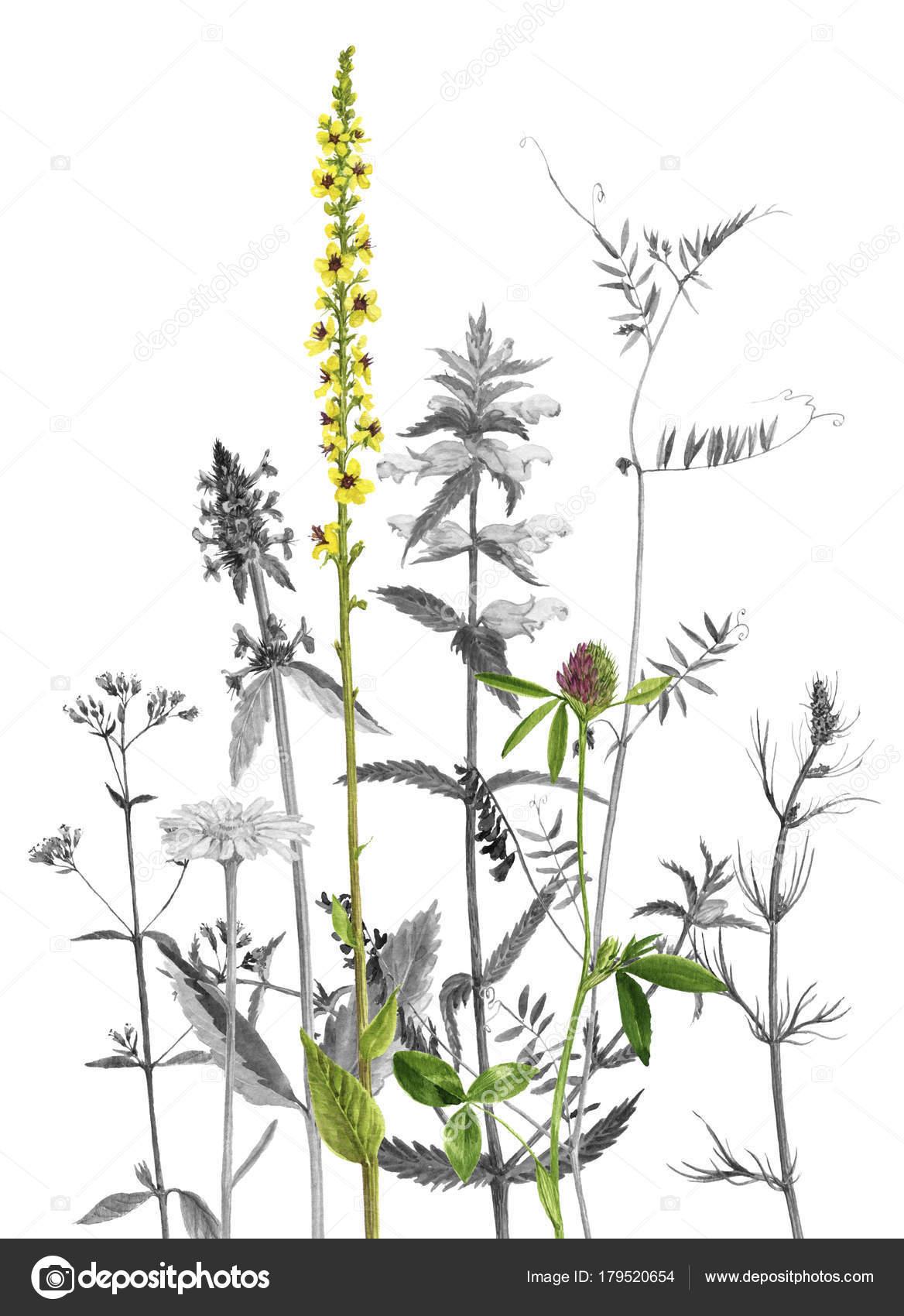 plantes et fleurs dessin aquarelles photographie cat. Black Bedroom Furniture Sets. Home Design Ideas