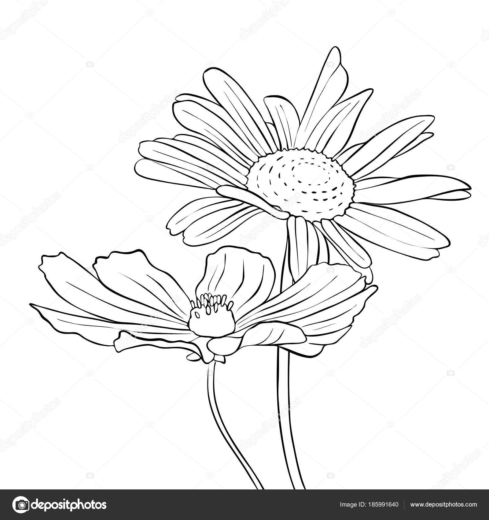Vector Drawing Flowers Of Daisy Stock Vector Catarchangel