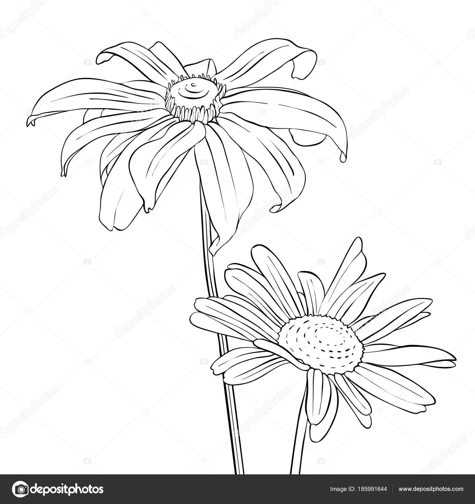 Vector drawing flowers of daisy stock vector catarchangel vector drawing flowers of daisy stock vector izmirmasajfo Choice Image