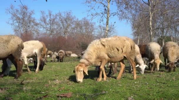obrovské stádo ovcí, beranů a koz pasoucí se na louce za slunečného dne
