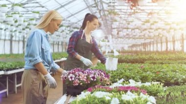 Happy Farmers and Gardeners Work and Examine Flowerpots in Sunny Industrial Greenhouse.