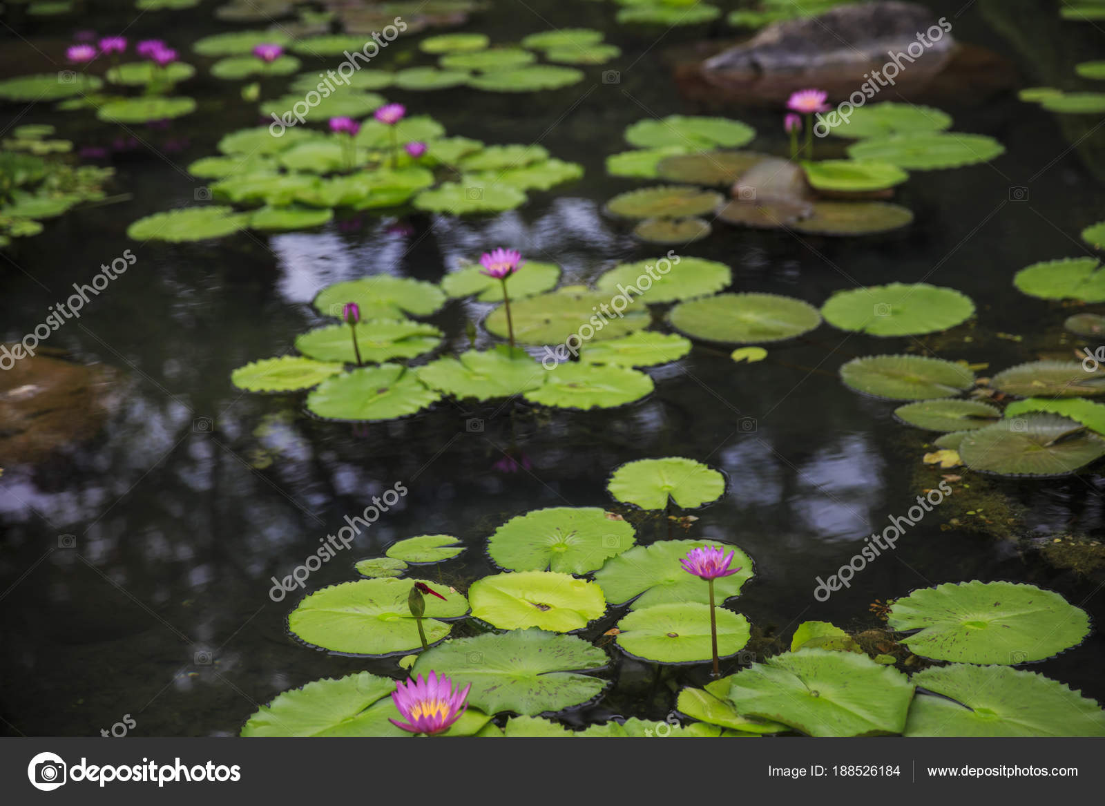 Water Lily Pond Umi Jigoku Beppu Japan Stock Photo Yobab 188526184