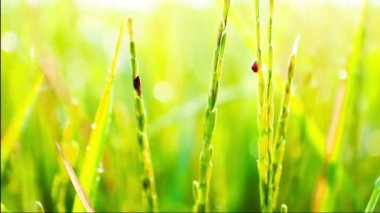 Berušky jsou ničí jasmínovou rýží farmě ráno