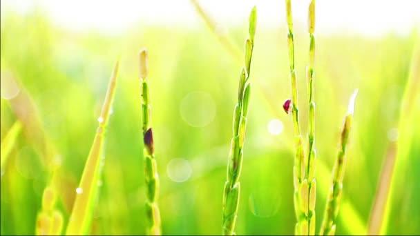 Berušky jsou ničí jasmínovou rýží farmě ráno.