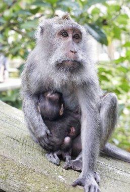 Macaque monkey sitting with suckeling baby Bali Indonesia