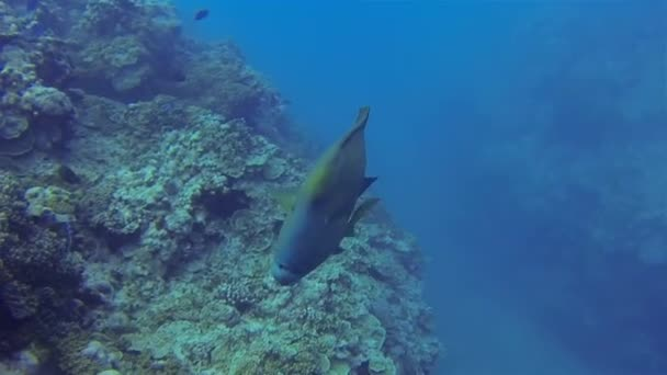 Humphead Wrasse vagy Napoleonfish, vagy Napoleon Wrasse közelről úszás a kék óceánban