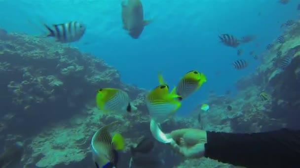 Napóleon hal, Humphead Wrasse vagy Napóleon Wrasse Etetés és evés közelről a tengeren