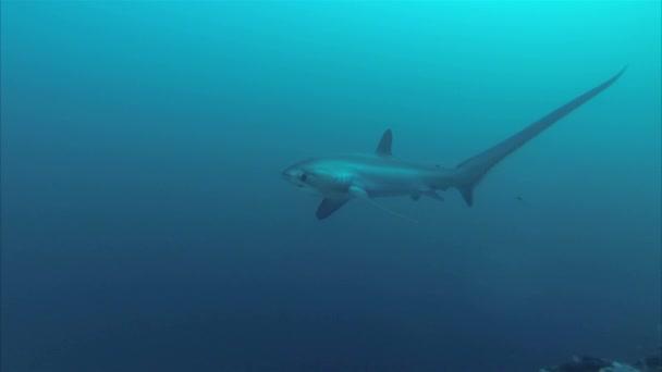 Thresher Shark Closeup Úszás a mélykék óceánban Malapascua szigetén Fülöp-szigetek