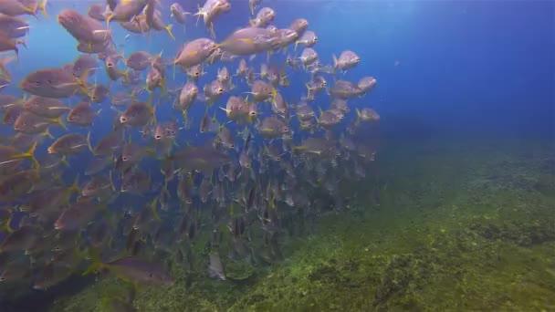 Iskola Silver Trevally, Ezüst Bream vagy Skipjack Hal Iskola a mély kék tenger