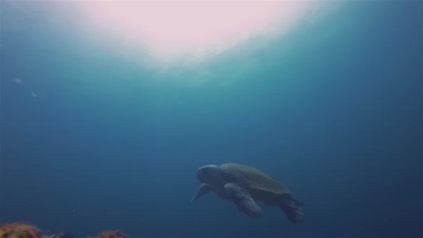 Green Turtle Or Sea Turtle Swimming Underwater In Blue Sea Australia Pacific Ocean