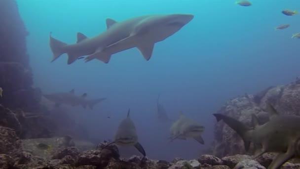Graue Ammenhaie. Tigerhai-Gruppe im Tauchgang