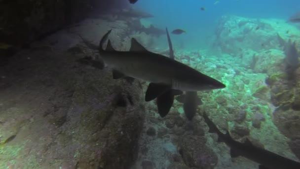 Graue Ammenhaie gruppieren sich in einer Unterwasserhöhle. Sandtigerhai-Gruppe in blauer Meereshöhle
