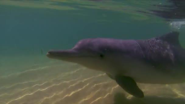 Delfinschwimmen  Spielen aus nächster Nähe auf der Oberfläche. Verspielter australischer Buckeldelfin