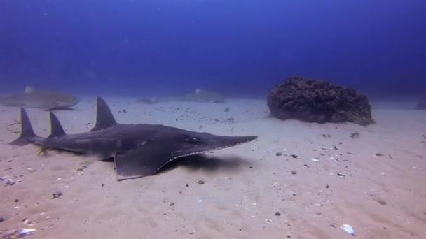 Fehérorrú guitarfish  leopárdcápa lapátos.lapátosorrú Ray In Blue Sea